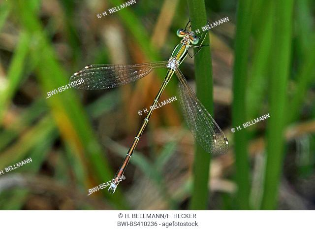 Migrant spreadwing, Southern emerald damselfly (Lestes barbarus), at a stem, view from above, Germany