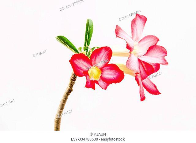 Closeup of Pink Bigononia or Desert Rose (tropical flower)