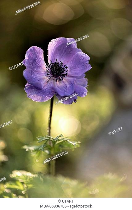 violet coloured anemone in the morning in the back light, glittering background, Bokeh, close-up