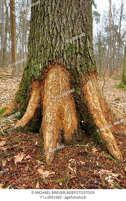 Tree Trunk Gnawed by European Beaver (Castor fiber), Hesse, Germany, Europe
