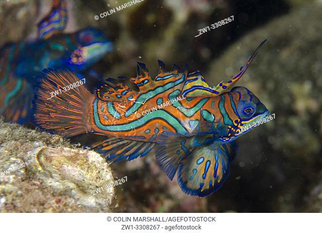 Pait of fighting Mandarinfish (Synchiropus splendidus) with ornate markings, Banda Neira Jetty dive site, night dive, Ambon, Maluku (Moluccas), Indonesia