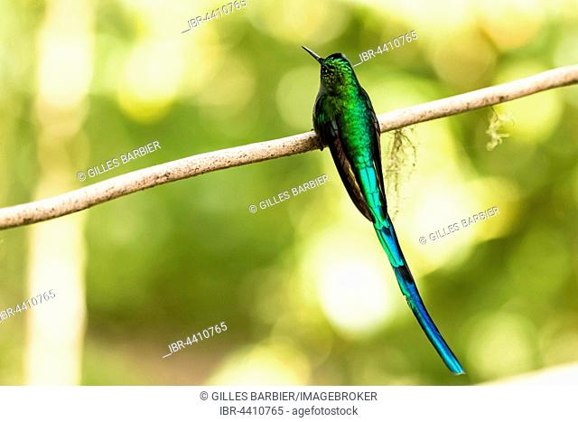 Green-Tailed Trainbearer (Lesbia nuna), Acaime Private Reserve, Valle de Cocora, Zona Cafetera, Colombia