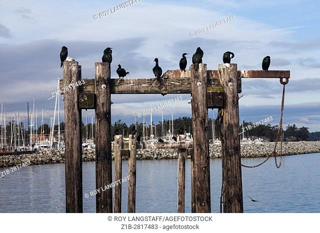 Cormorants and a lone Seagull on wooden pilings