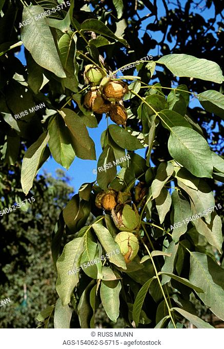 Agriculture - Closeup of mature, harvest ready, walnuts on the tree in early autumn, with husks dried and fully cracked open / CA - Linden