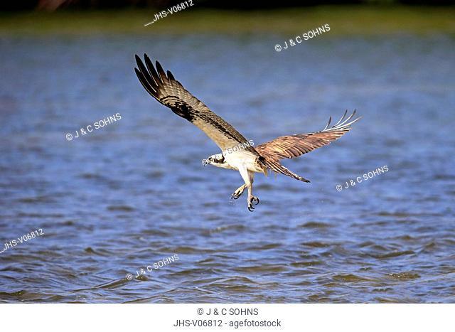 Osprey, (Pandion haliaetus carolinensis), Sanibel Island, Florida, USA, Northamerica, adult flying