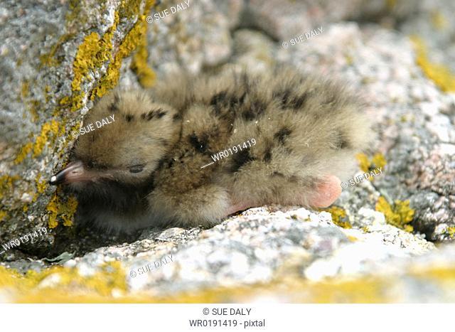 Common Tern chick Sterna hirundo, Jersey, British Isles