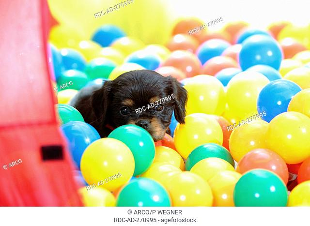 Cavalier King Charles Spaniel, puppy, black-and-tan, 6 weeks, in ball pit