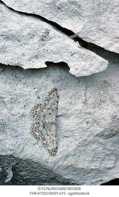 Mullein Wave Moth Scopula margine punctata Roosting on exposed chalk - Sussex, England