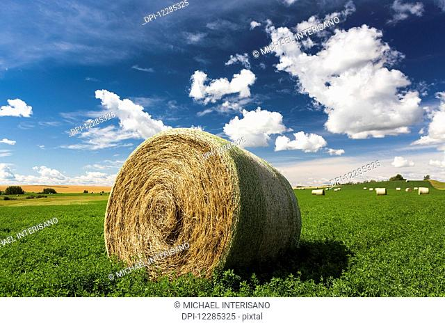 Close up of large round hay bale in an alfalfa field with clouds and blue sky; Acme, Alberta, Canada