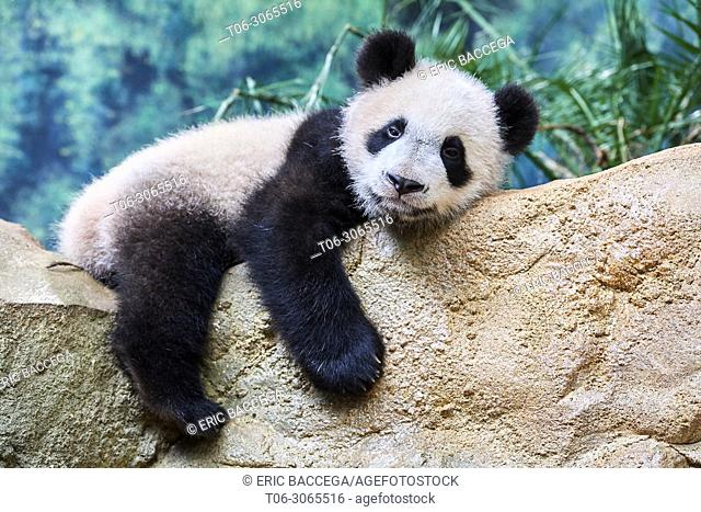 Giant panda cub resting (Ailuropoda melanoleuca) captive. Yuan Meng, first giant panda ever born in France, is now 10 months old, Zooparc de Beauval