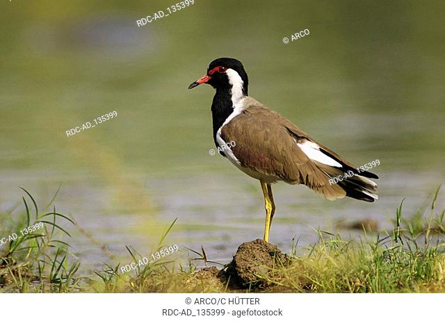 Red-wattled Lapwing Keoladeo Ghana national park Rajasthan India Vanellus indicus side