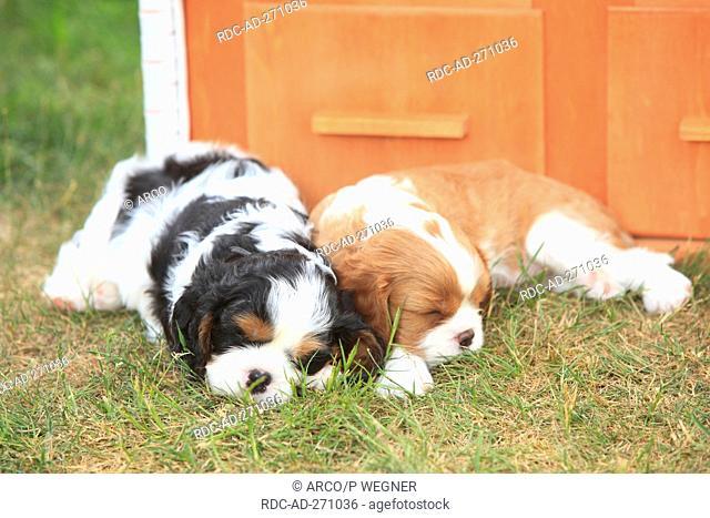 Cavalier King Charles Spaniel, puppies, blenheim and tricolour, 5 weeks
