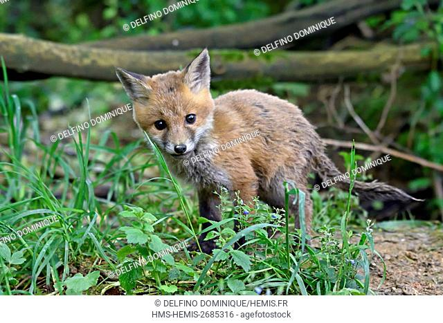 France, Doubs, red fox (Vulpes vulpes) fox at the entrance to its burrow in hedge edge