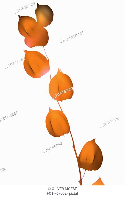 Physalis growing on a branch