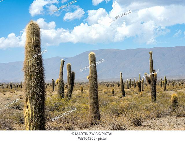 National Park Los Cardones in the region Valles Calchaquies near Cachi, province salta. The NP is protecting the cactus Cardon ( Echinopsis atacamensis )