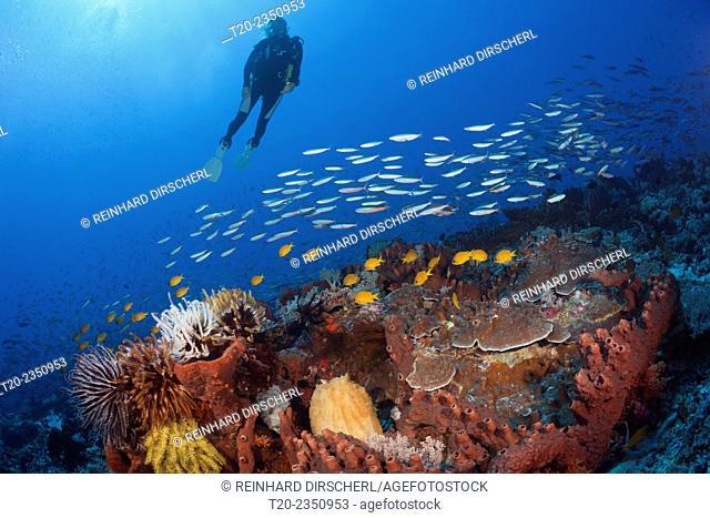 Scuba Diver over Coral Reef, Kai Islands, Moluccas, Indonesia