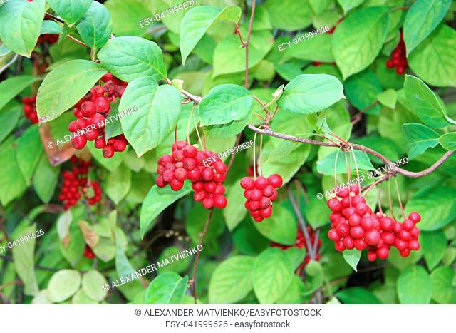 Branches of red schisandrahanging in row. Clusters of ripe schizandra. Crop of useful plant. Red schizandra hang in row on green branch