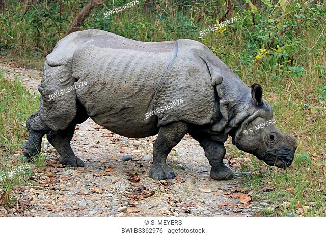 Greater Indian rhinoceros, Great Indian One-horned rhinoceros (Rhinoceros unicornis), walking over a path and searching food, Nepal, Terai
