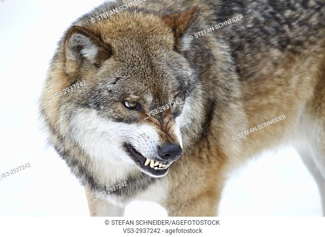 Snarling wolf in winter, Canis lupus, Bavarian forest, Bavaria, Germany
