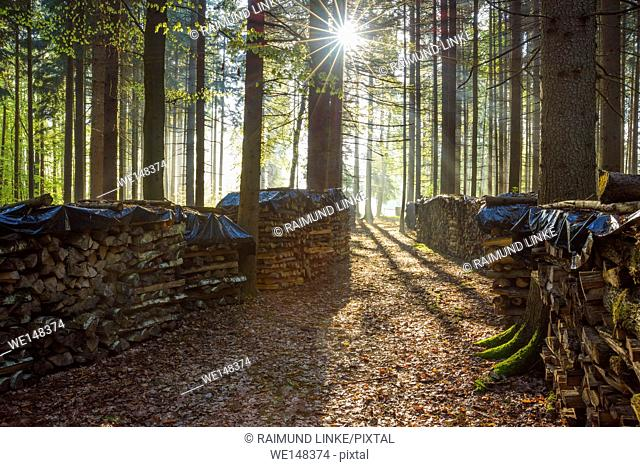 Coniferous forest and firewood stacks with morning sun, Vielbrunn, Michelstadt, Odenwald, Hesse, Germany