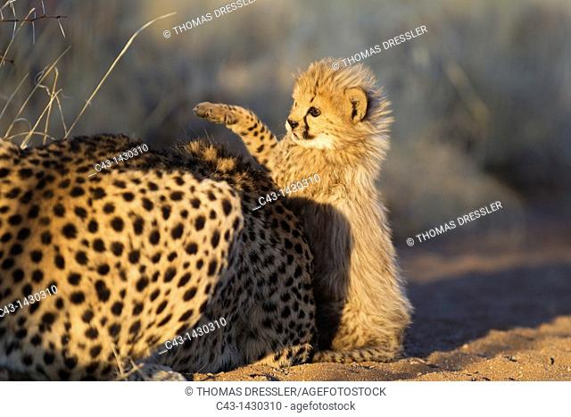 Cheetah Acinonyx jubatus - Playful 40 days old male cub next to its mother in the early morning  Photographed in captivity on a farm  Namibia