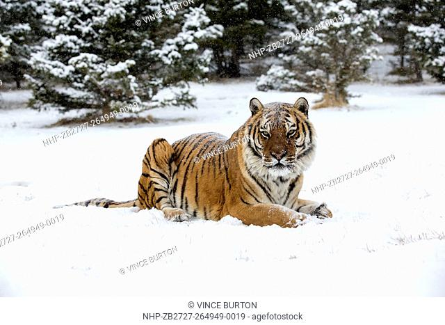 Siberian Tiger (Panthera Tigris Altaica) adult sitting in the snow