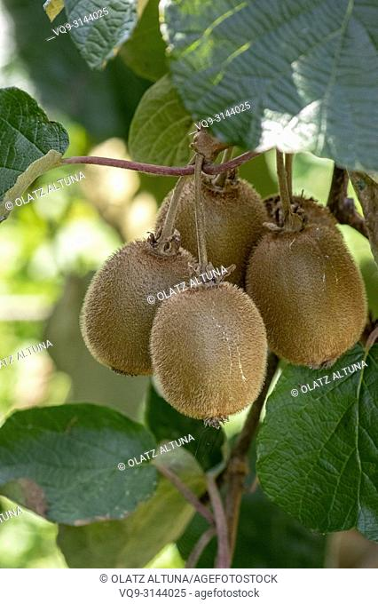 Kiwi fruits on the tree in Urrestilla, Basque Country, Spain