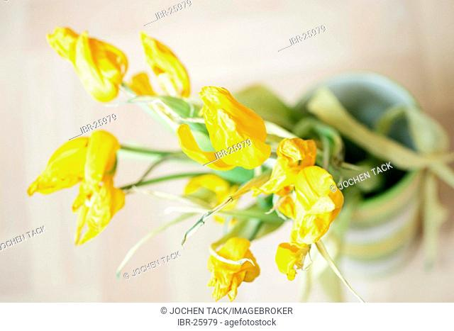 DEU, Federal Republic of Germany : Yellow tulips in a vase, dryed out, faded