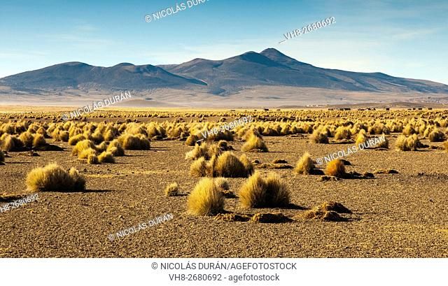 Landscape high (puna) with pajonal (Stipa ichu) in Sajama National Park, on the border with Chile. Department of Oruro. Bolivia. South America