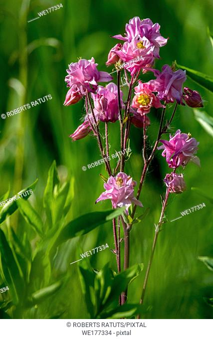 Pink wild flowers. Blooming flowers. Beautiful pink rural flowers in green grass. Meadow with rural flowers. Field flowers. Nature flower in spring