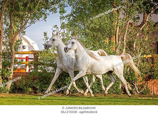 Arabian Horse. Pair of young gray mares trotting on a lawn. Egypt