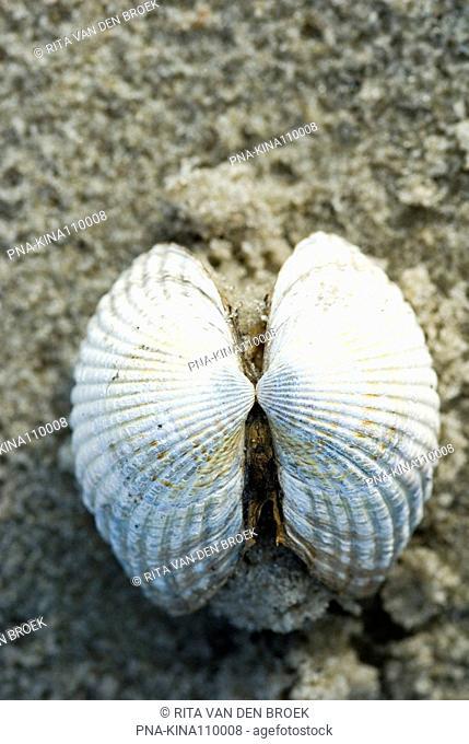 Common Cockle Cerastoderma edule