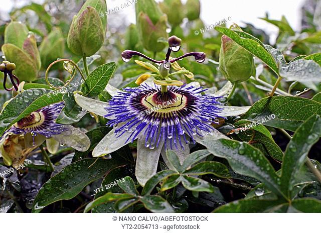 Passion Flower (Passiflora) in Asturias, Spain