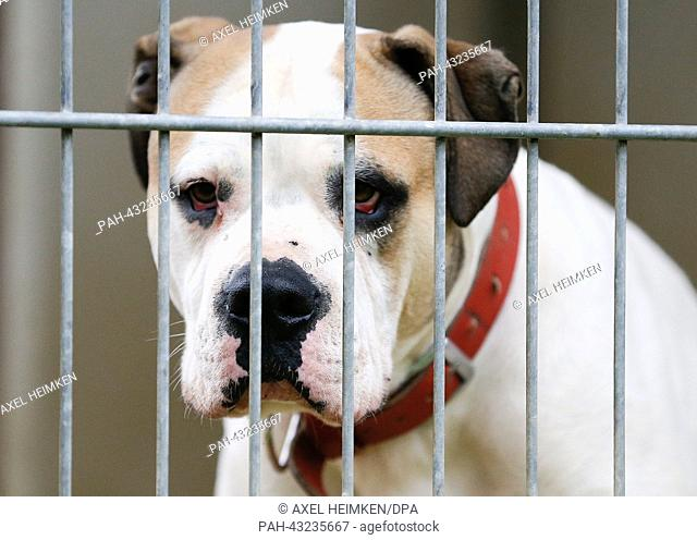 A bull terrier looks through the metal bars of its cage at the aninmal shelter in Hamburg, Germany, 6 October 2013. The animal shelter invited the general...