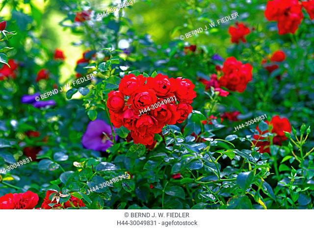 Roses, red, flowers, Annweiler in the Trifels Germany