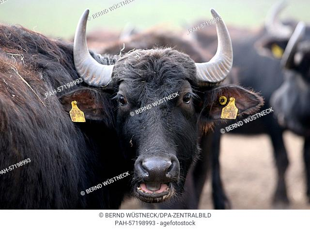 Water buffalo are moving around at Gut Darss in Born, Germany, 16 March 2015. 30 businesses in the German state of Mecklenburg-Western Pomerania have turned to...