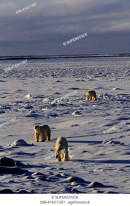 CANADA, MANITOBA,CHURCHILL AREA, POLAR BEARS ON PACK ICE, POLAR BEAR URSUS MARITIMUS