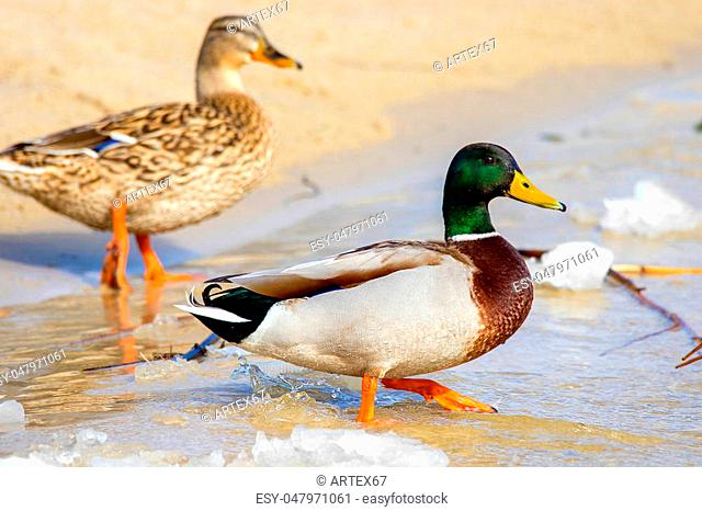 image of a wild duck on the river bank with ice