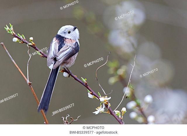 long-tailed tit (Aegithalos caudatus), sitting on a blooming twig, Germany, Rhineland-Palatinate