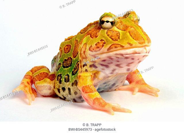 Cranwell's horned frog, Chacoan horned frog, Cranwell's pacman frog, horned frog, horned toad (Ceratophrys cranwelli), albino, cutout