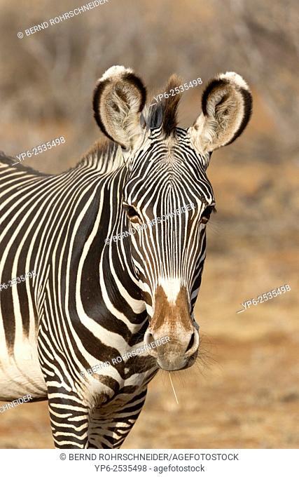 Grévy's zebra (Equus grevyi), portrait, Samburu National Reserve, Kenya