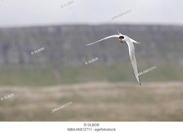 Arctic tern, sterna paradisaea, flight