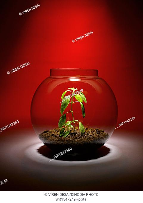 tulsi plant growing inside a glass bowl India