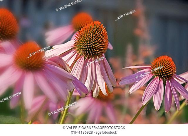 This image is Echinacea Pallida, commonly known as pink coneflower a beautiful summer perennial garden plant and herb Background intentionally blurred for...