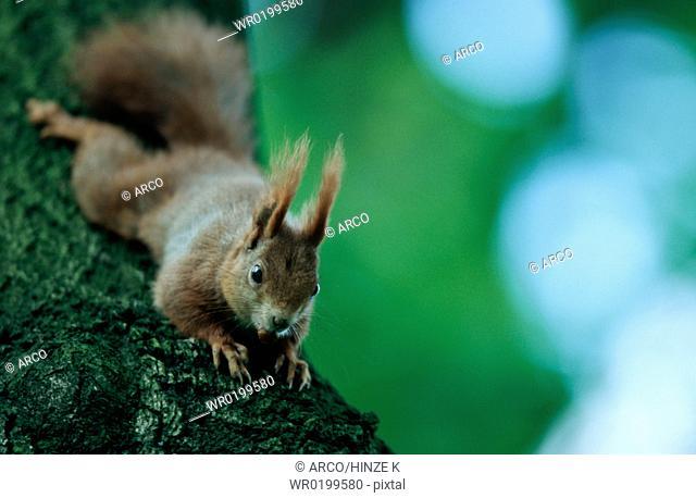 Red, Squirrel, Germany,Sciurus, vulgaris