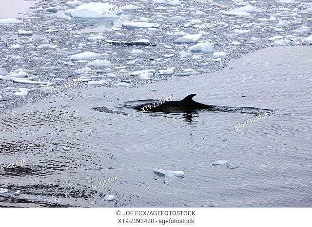 minke whale diving under brash ice the lemaire channel Antarctica