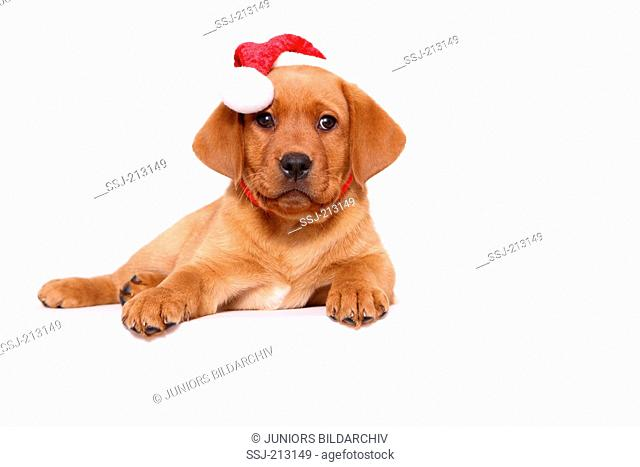 Labrador Retriever. Puppy (8 weeks old) lying, wearing Santa Claus hat. Studio picture against a white background. Germany