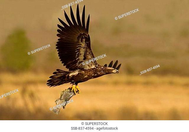 Bald eagle Haliaeetus leucocephalus catching a fish