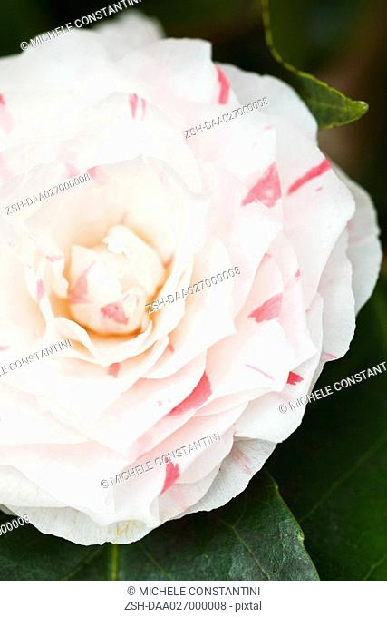 Camellia flower, close-up