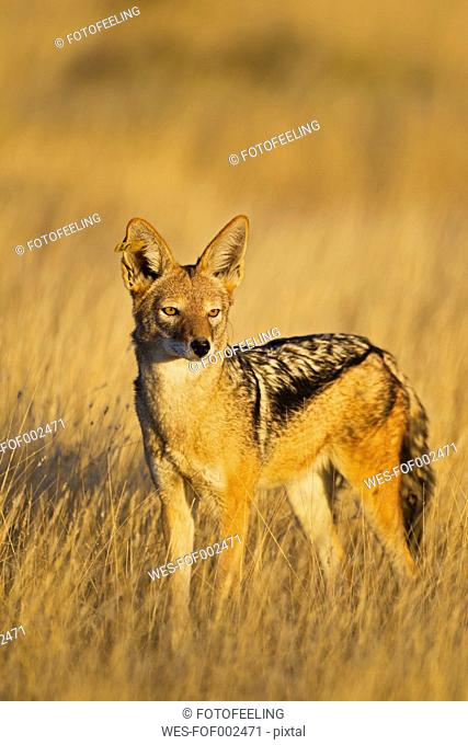 Africa, Namibia, Etosha National Park, Black-backed Jackal standing in grass